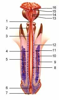 Uretra e Pênis (Vista Ventral)